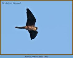 eleonoras-falcon-01.jpg