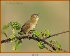 grasshopper-warbler-24.jpg