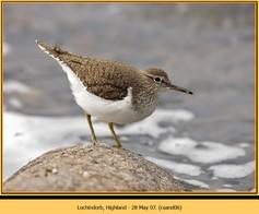 common-sandpiper-06.jpg