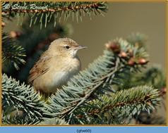 grasshopper-warbler-60.jpg