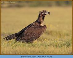 black-vulture-24.jpg