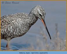 spotted-redshank-35.jpg
