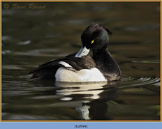 tufted-duck-44.jpg