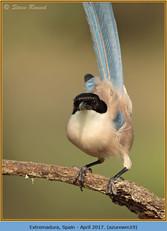 azure-winged-magpie-19.jpg