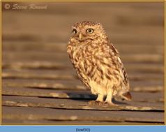 little-owl-50.jpg