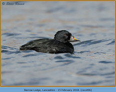 common-scoter-06.jpg