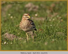 stone-curlew-15.jpg