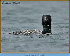 great-northern-diver-55.jpg