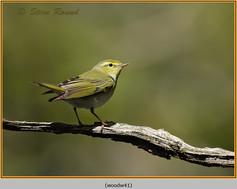 wood-warbler-41.jpg