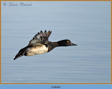 tufted-duck-46.jpg