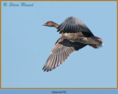 pink-footed-goose-76.jpg