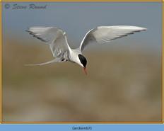 arctic-tern-67.jpg
