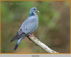 stock-dove-26.jpg