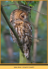 tawny-owl-07.jpg