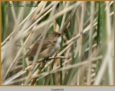 reed-warbler-23.jpg