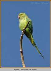 ring-necked-parakeet-08.jpg