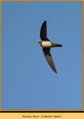 alpine-swift-07.jpg