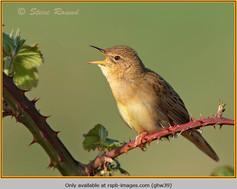 grasshopper-warbler-39.jpg