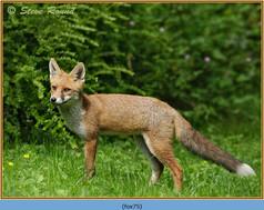 fox-75.jpg