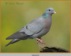 stock-dove-25.jpg