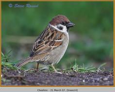 tree-sparrow-14.jpg