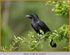 carrion-crow-17.jpg