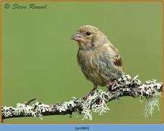 greenfinch-84.jpg