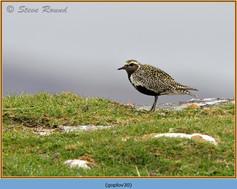 golden-plover-30.jpg