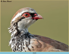 red-legged-partridge-26.jpg