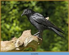 carrion-crow-39.jpg