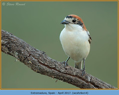 woodchat-shrike-14.jpg