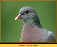 stock-dove-06.jpg