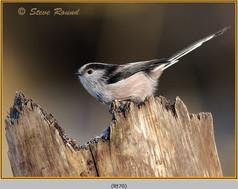 long-tailed-tit-70.jpg