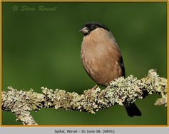 bullfinch-41.jpg