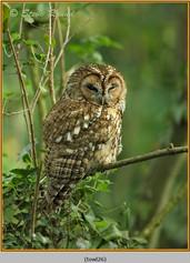 tawny-owl-26.jpg
