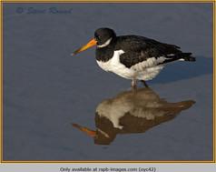oystercatcher-42.jpg