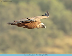 griffon-vulture-75.jpg