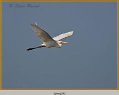 great-white-egret-24.jpg