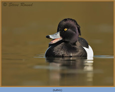 tufted-duck-41.jpg