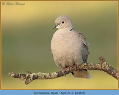 collared-dove-23.jpg