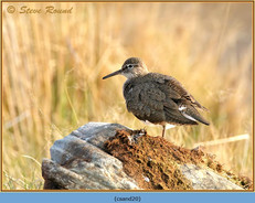 common-sandpiper-20.jpg