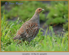 grey-partridge-02.jpg