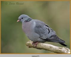 stock-dove-27.jpg