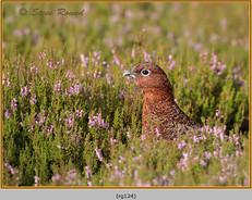 red-grouse-124.jpg