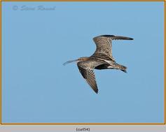 curlew-54.jpg