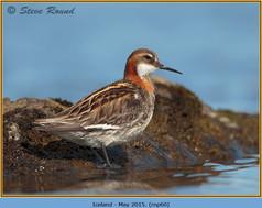 red-necked-phalarope-60.jpg
