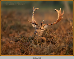 fallow-deer-16.jpg