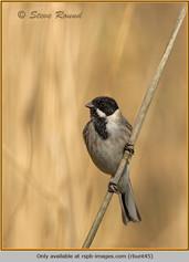reed-bunting-45.jpg