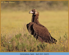 black-vulture-07.jpg
