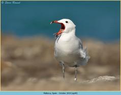 audouin's-gull-40.jpg